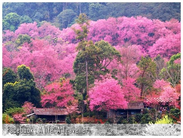 Sakura 014