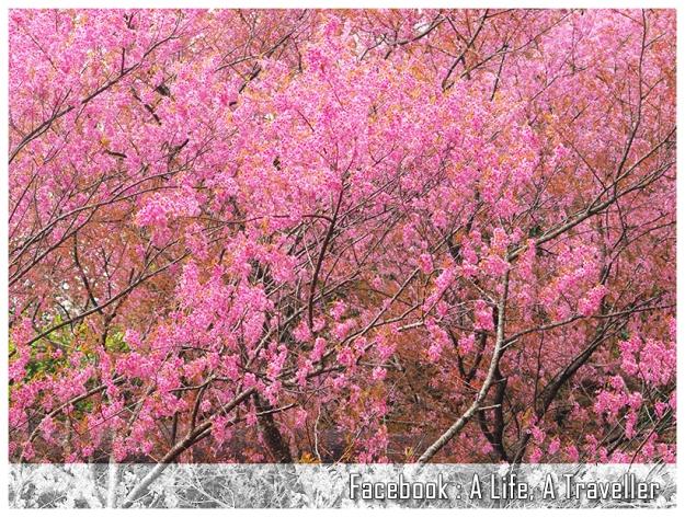 Sakura 017