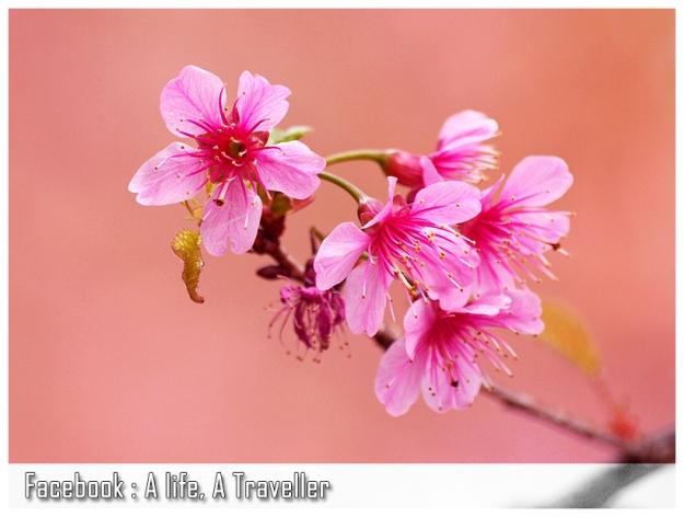 Sakura 019