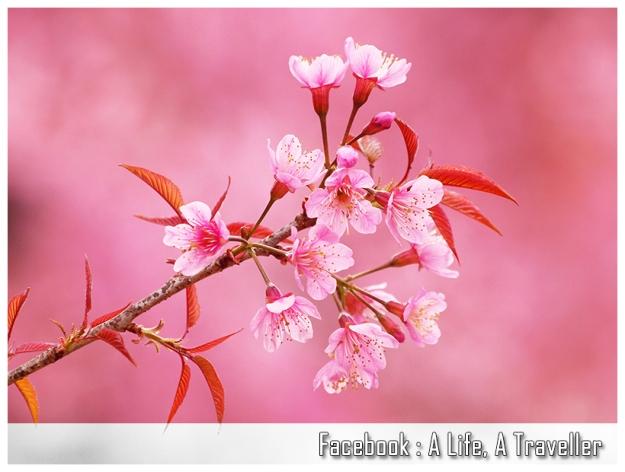 Sakura 020
