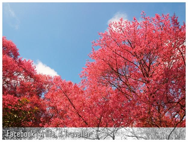 Sakura 022