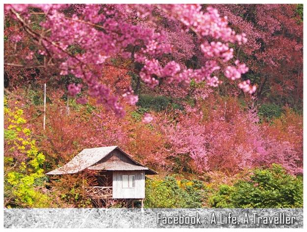Sakura 023