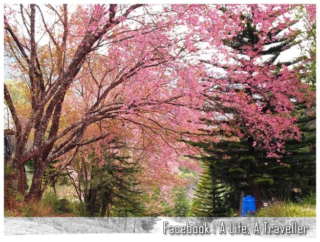 Sakura 037