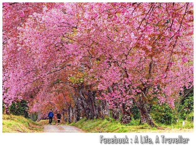 Sakura 038
