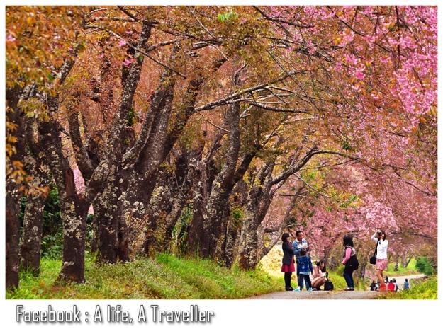Sakura 039
