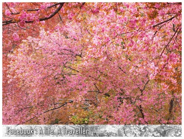 Sakura 040