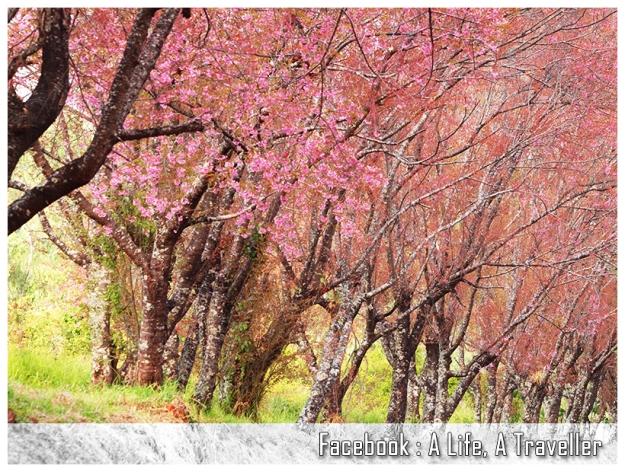 Sakura 041