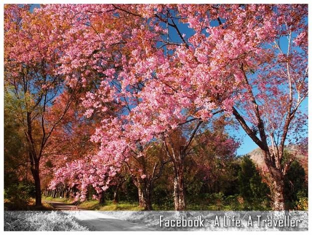 Sakura 042