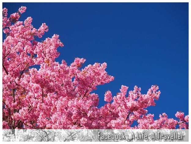 Sakura 043